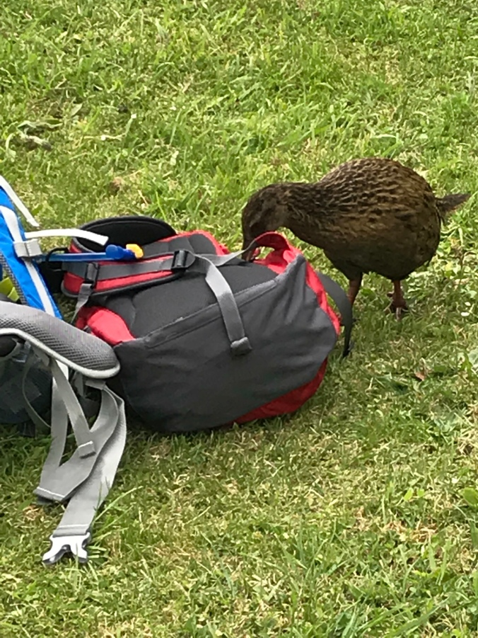 A Weka eating my back-pack